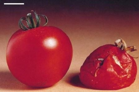 Αυτή ήταν η πρώτη γενετικά τροποποιημένη τομάτα - Βίντεο