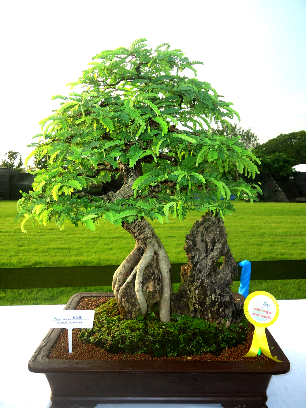 Bosque Tamarindo Bonsai Trees Pinterest Tamarindo Apps And