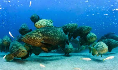http://sciencythoughts.blogspot.co.uk/2012/10/to-cull-or-not-to-cull-goliath-grouper.html