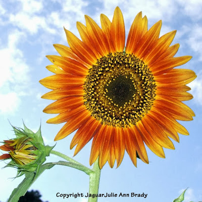 The Last Sunflower of Summer : Autumn Beauty Sunflower Blossom Photographed September 19, 2013