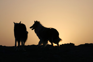 sunset collies