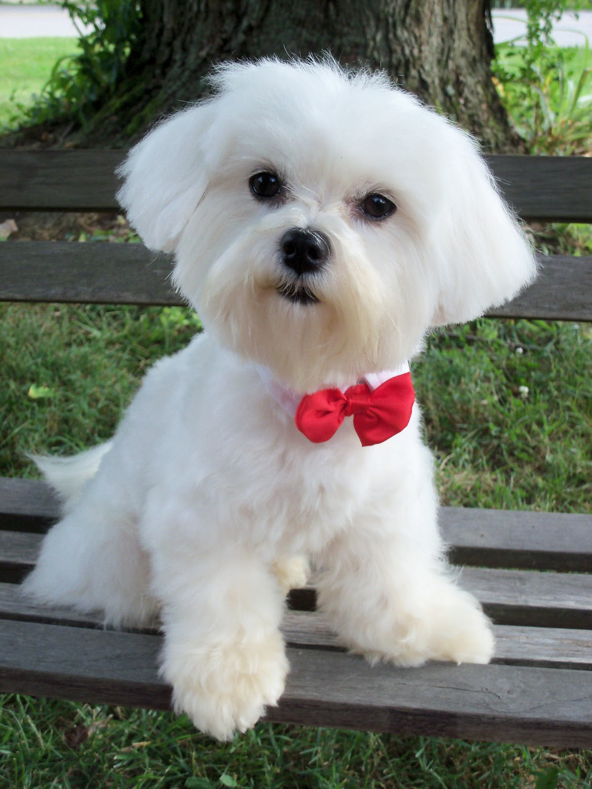 Adult Maltese Puppies wallpaper 1080p