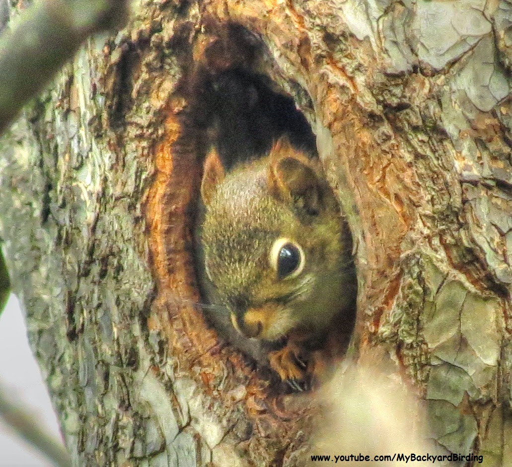 "Baby Red Squirrel ""Kitten"" in Nest"