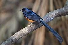 Fakta Tentang Burung Murai Batu yang Perlu Anda Ketahui