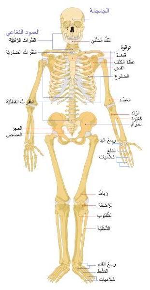 هيكل عظمي أمامي - ما هو عدد العظام في جسم الإنسان - skeleton