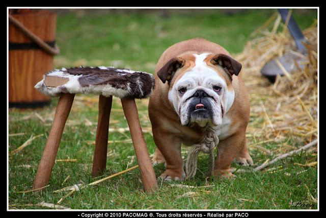 Bulldog au festival médiéval de Sedan