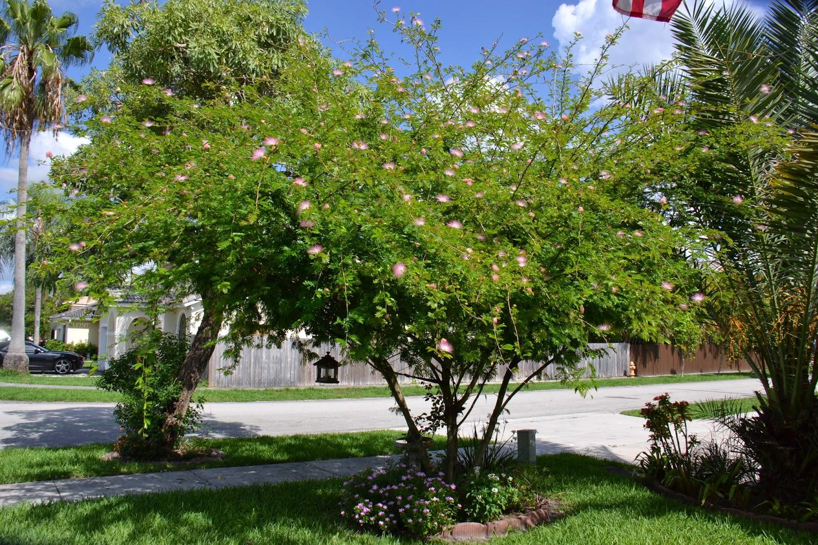 Mature lychee tree sale florida