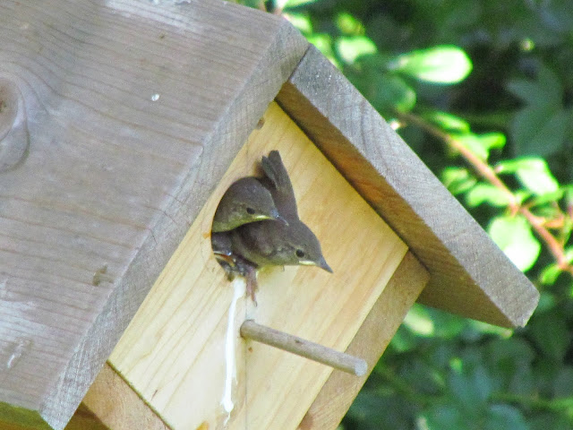 house wren a foot and a wing out the door