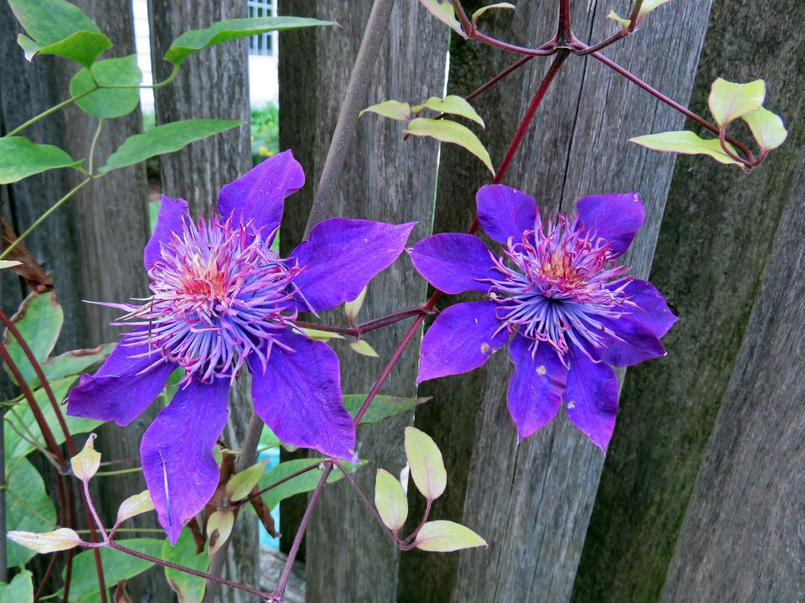 gatsbys gardens late bloomers. Black Bedroom Furniture Sets. Home Design Ideas