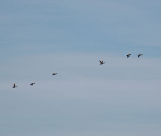 photo of a flock f flying waterfowl