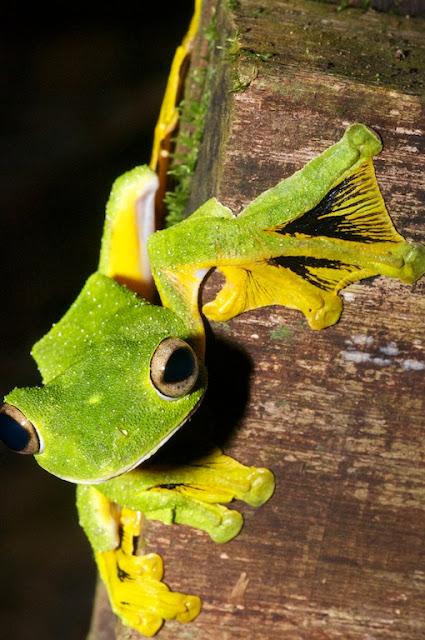 Wallace's Flying Frog (Rhacophorus nigropalmatus)