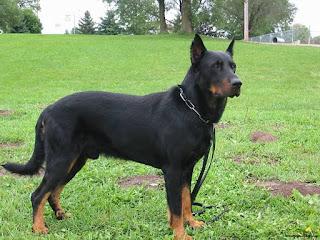Giống chó Beauceron.