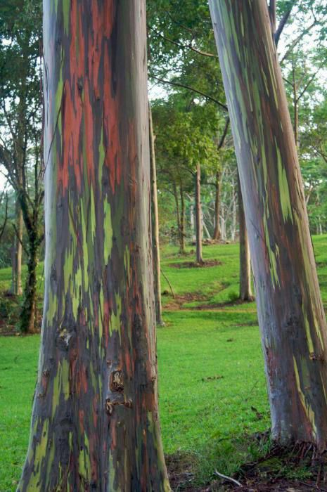 Planting Under Eucalyptus Trees : That in the temperate latitudes it grows slowly but under favorable