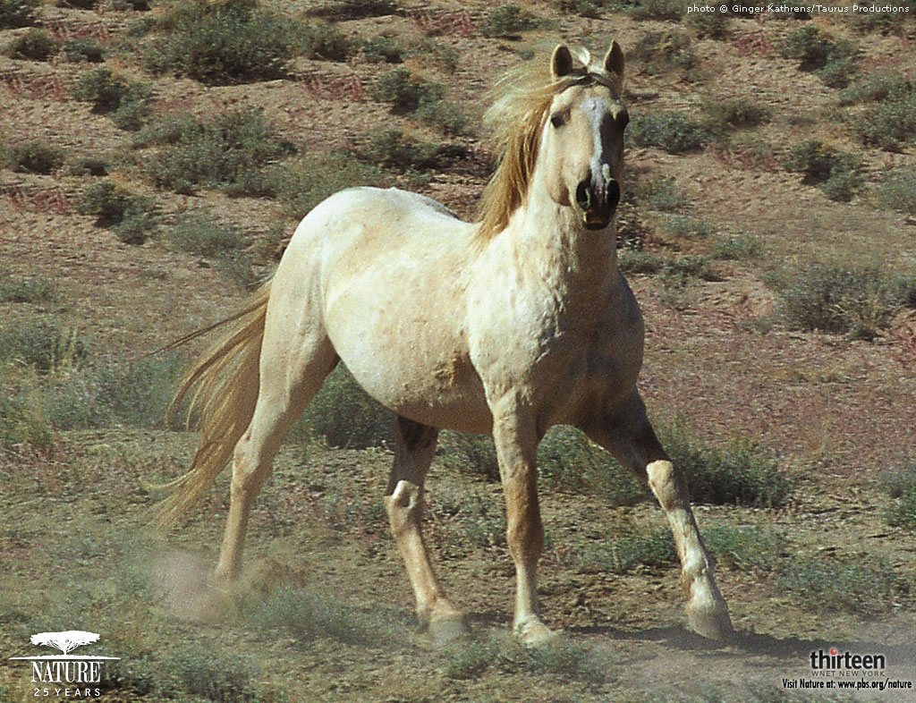 White wild horses running wallpaper beautiful white wild horses