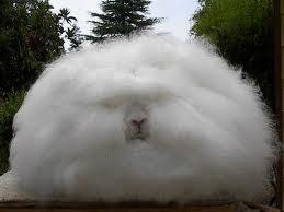 Động vật kì lạ: thỏ lông dài