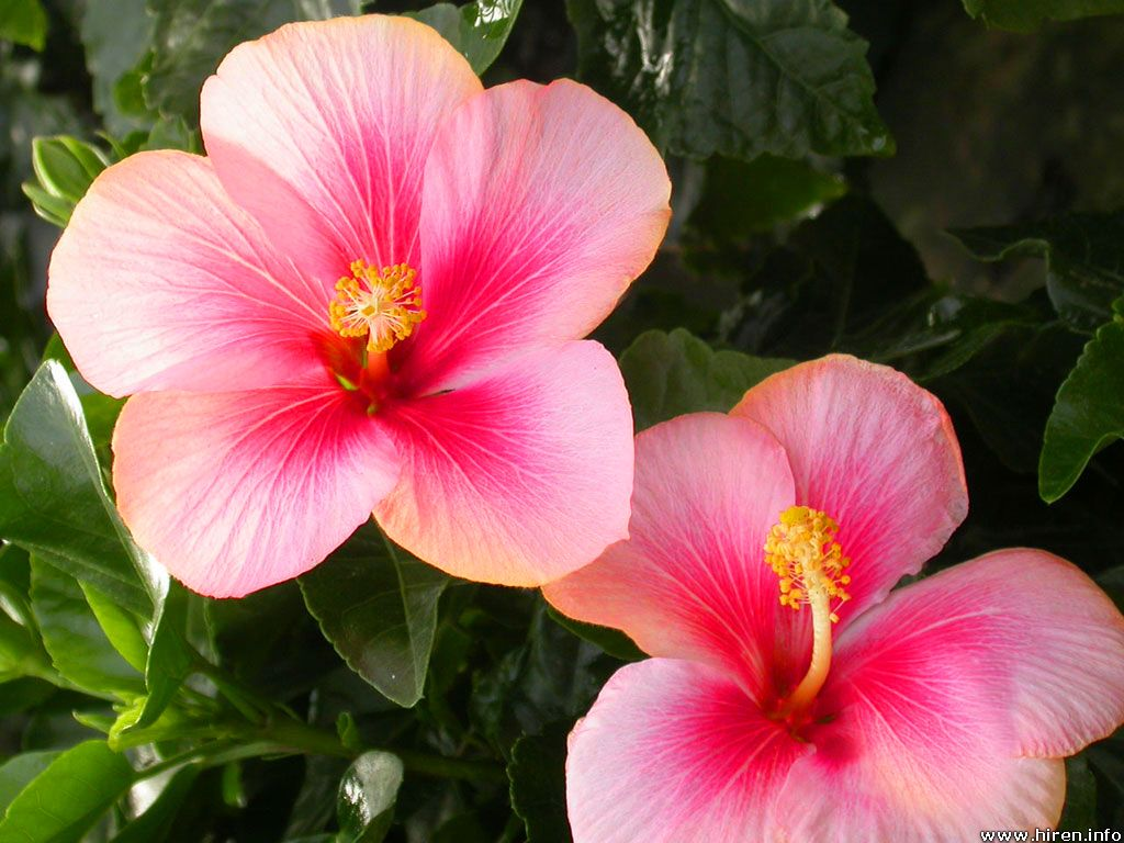 Hibiscus Flower Wallpaper Flower Wallpapers Hd