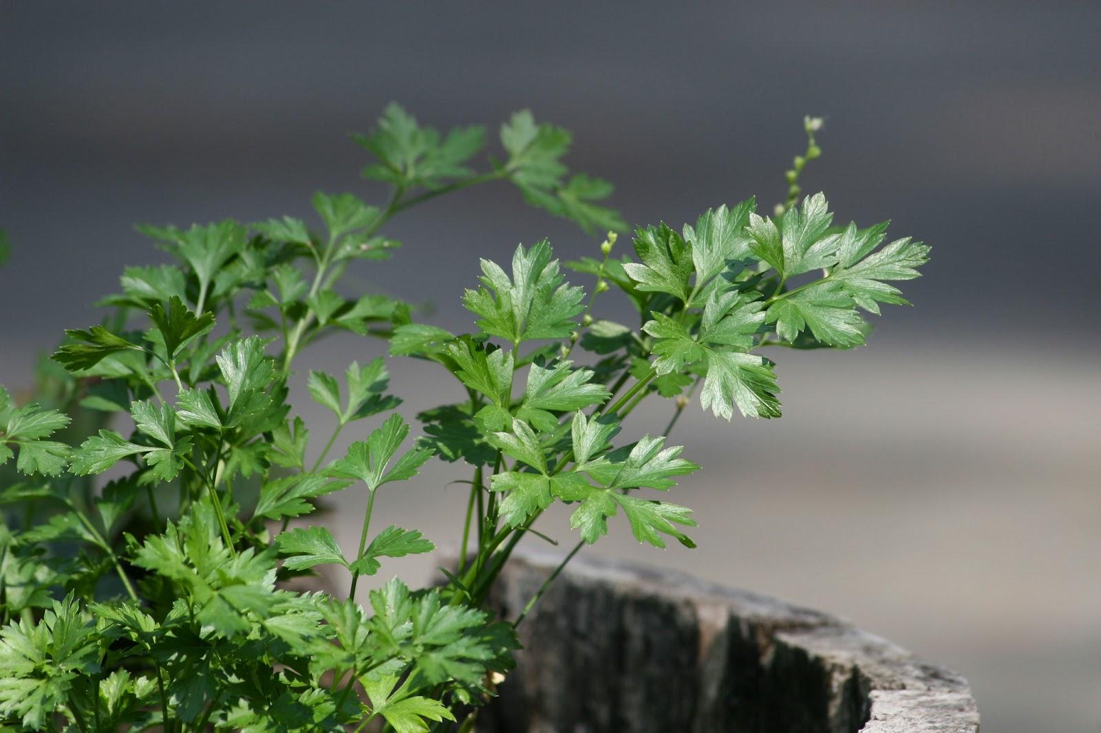 huerto medicinal perejil