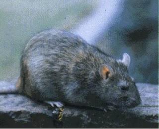Ternyata Tikus Got Menu Dinner Orang Amerika [ www.Bacaan.ME ]