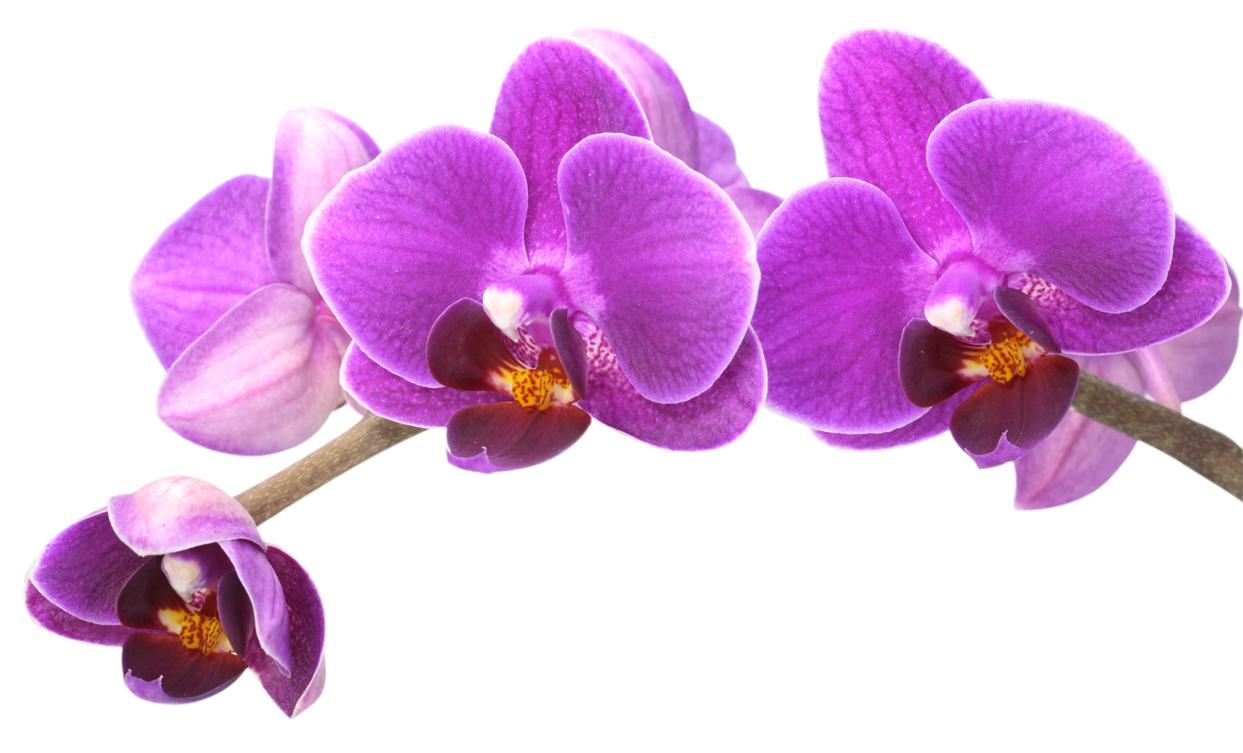 Crea vegetal l 39 orchid e la star des fleurs - Entretien de l orchidee ...