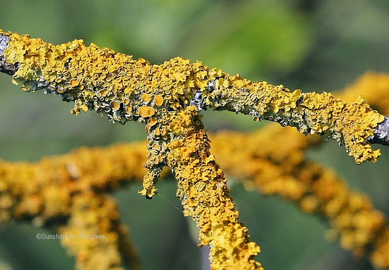 Common Orange Lichen (Xanthoria parietina) on a tree
