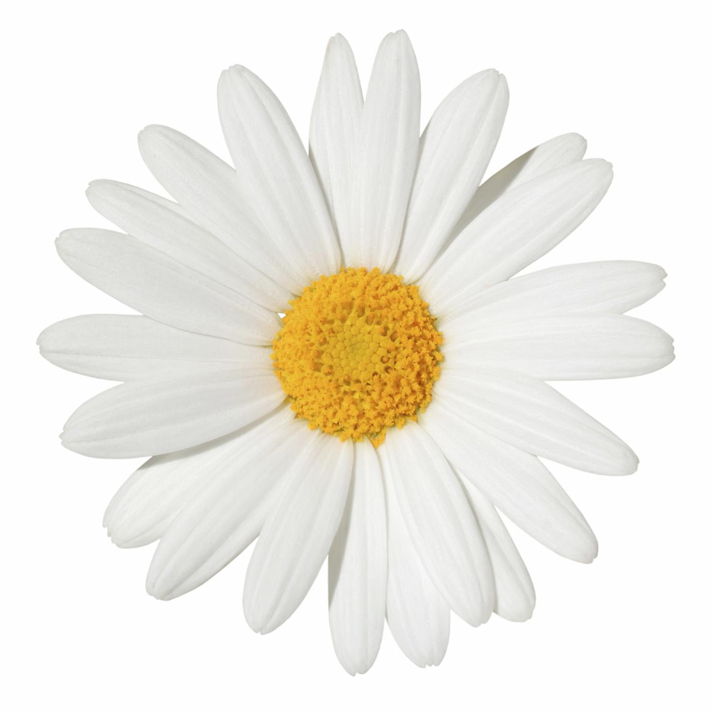 Pornostar daisy flower