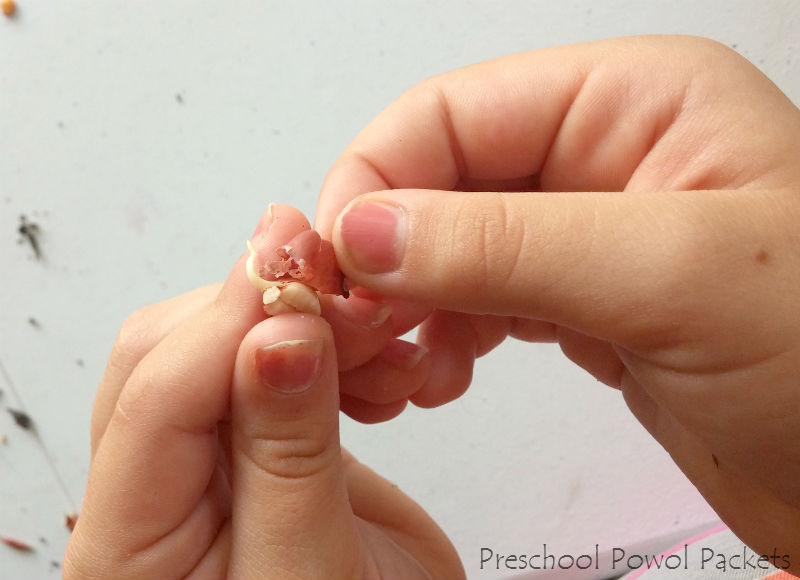 Dissect a bean seed lab preschool powol packets ccuart Gallery