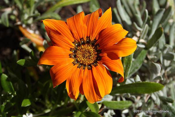 Clumping gazania (Gazania rigens) flower