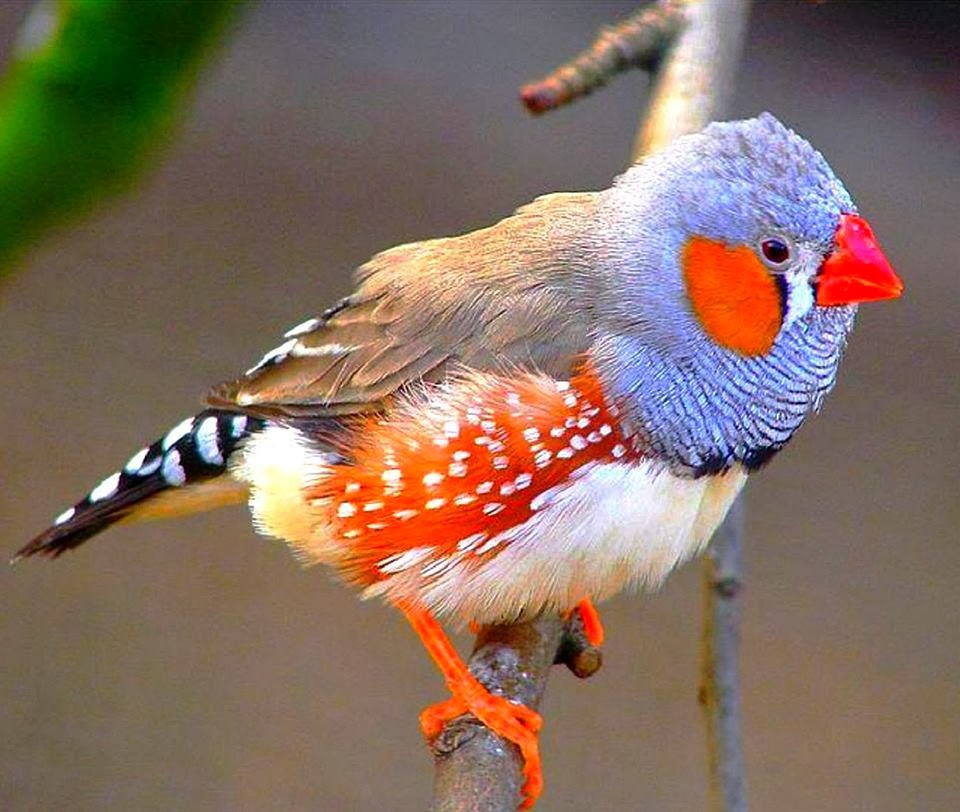 Gordian Finch Bird