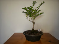 Duranta Bonsai