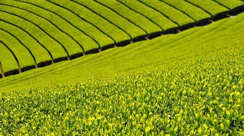 Wazuka, la granja de té verde japones