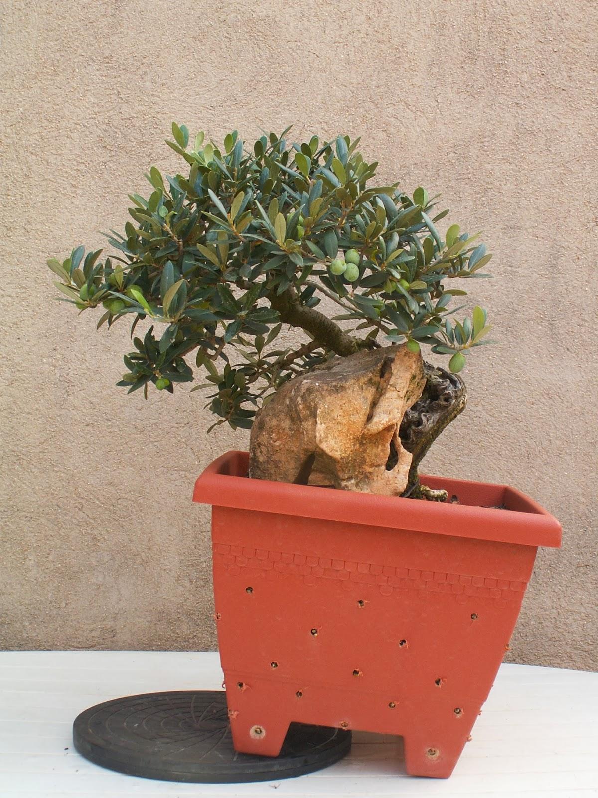 Cartagena bonsai el olivo en l - Olivo en maceta ...