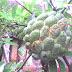 Belajar Merawat Pohon Srikaya Supaya Berbuah Banyak