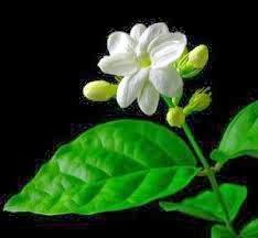 Manfaat Bunga Melati Untuk Kesehatan