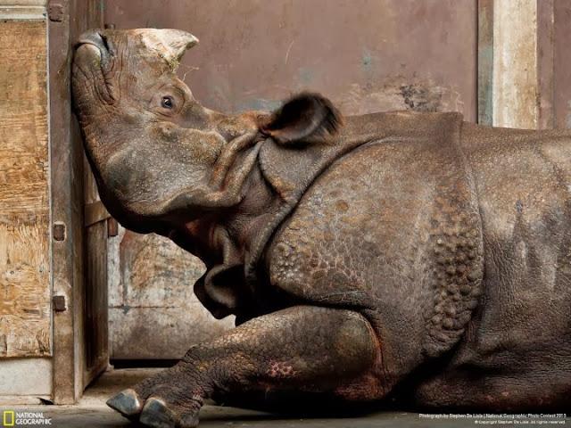 وحيد القرن الهندي يبدو حزينا بعد نقله إلى حديقة حيوان في ترونتو تصوير |ستيفن دي ليسلي