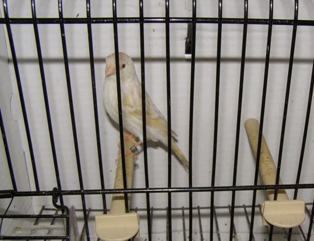 Vejam a qualidade deste passarinho, não é nenhum canário, parece?