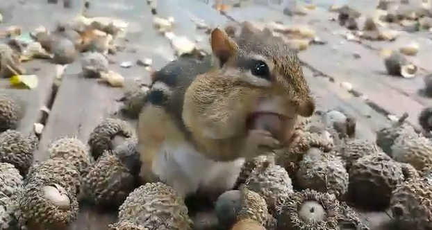 Chipmunk Gathering Food Until His Cheeks Look Ready To Explode (VIDEO)