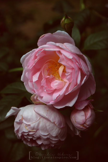 photography working with darkness, bright photos, pink garden rose, rose Scepter'd Isle, garden rose Scepter'd Isle, pink garden rose Scepter'd Isle