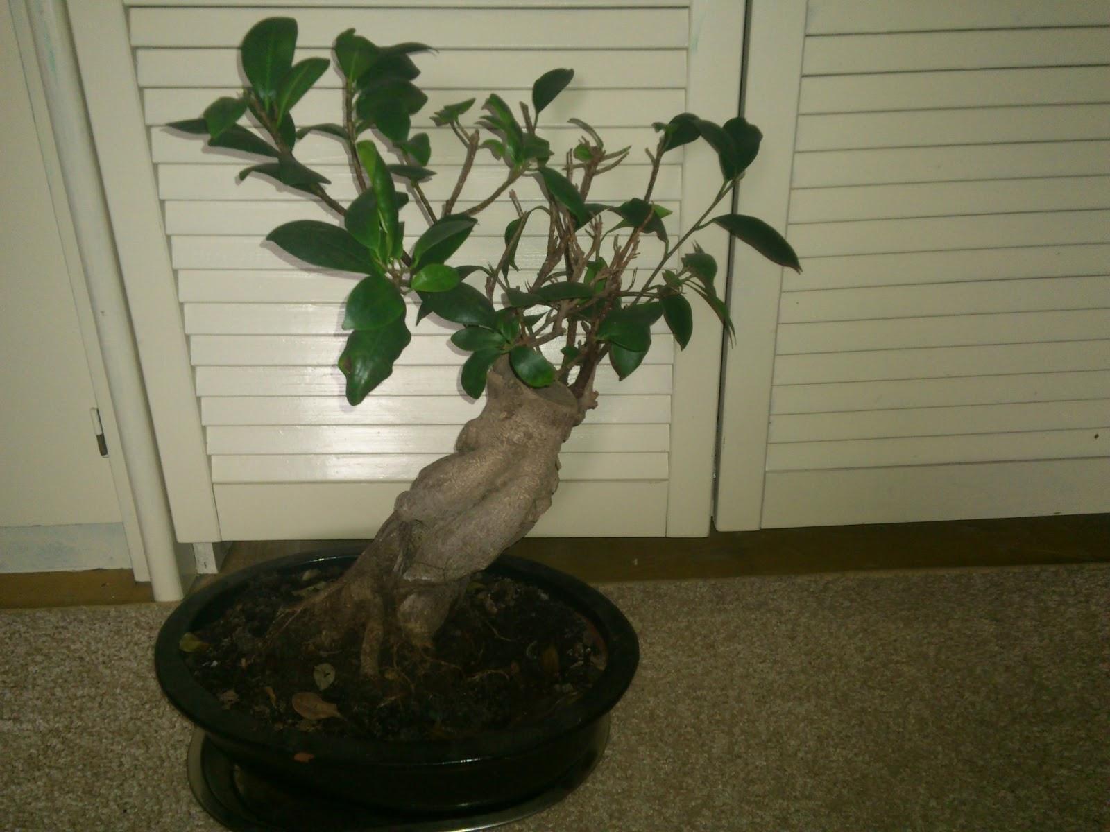 AngiCafe Bonsai Ficus Ginseng