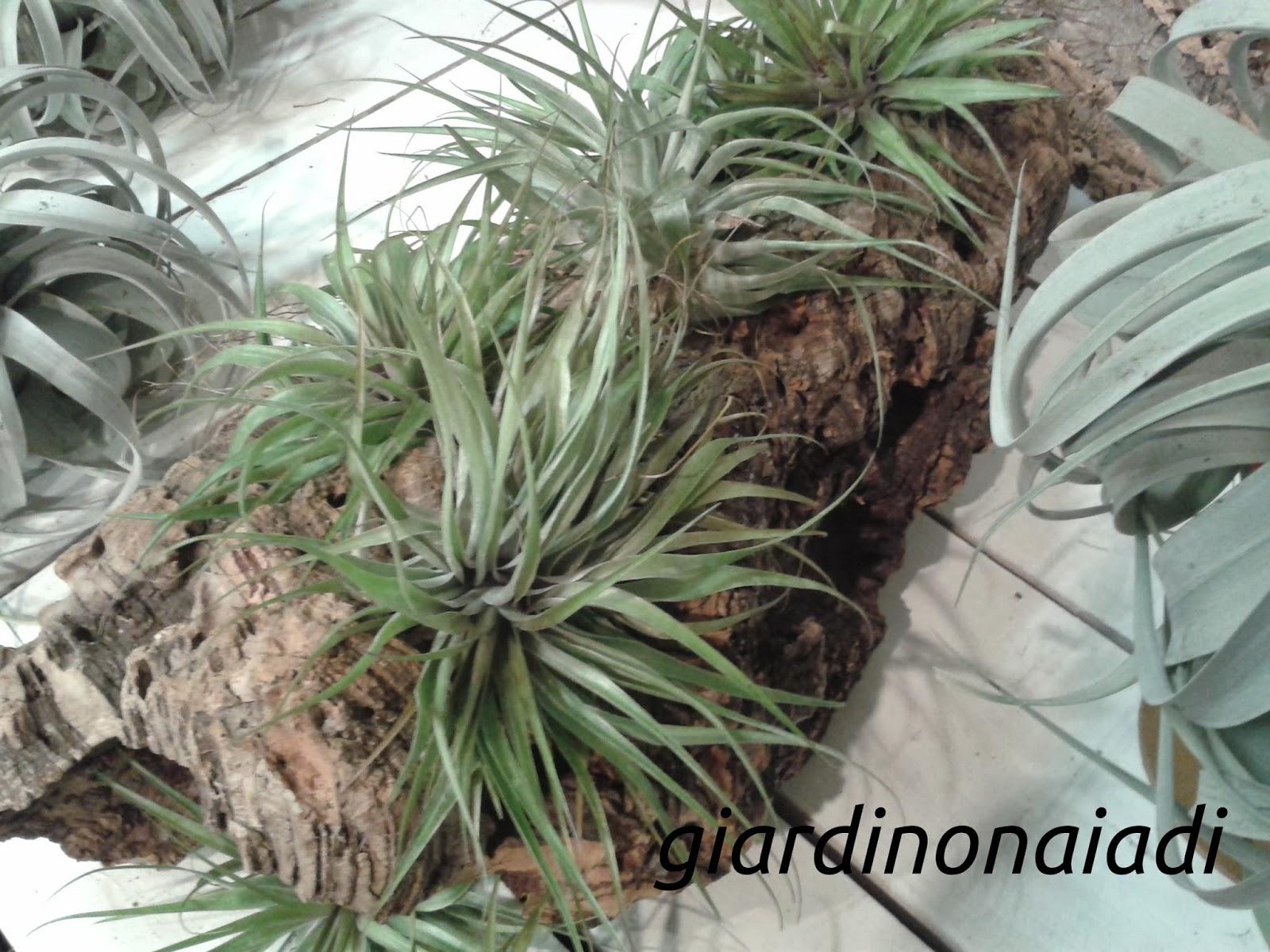 Il giardino delle naiadi tillandsie le figlie dell 39 aria for Tillandsia pianta