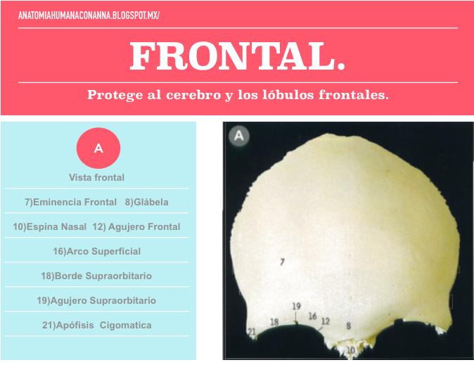 Hueso frontal | Annatomia Humana