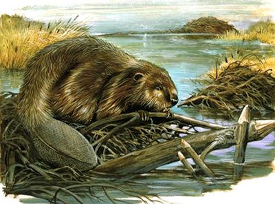 Carpe diem haiku kai carpe diem 56 full beaver moon for Castor habitat