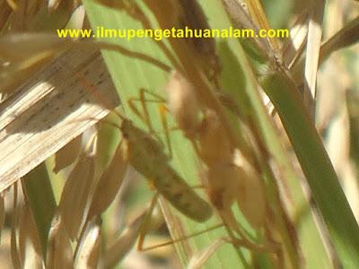 Hama tanaman padi