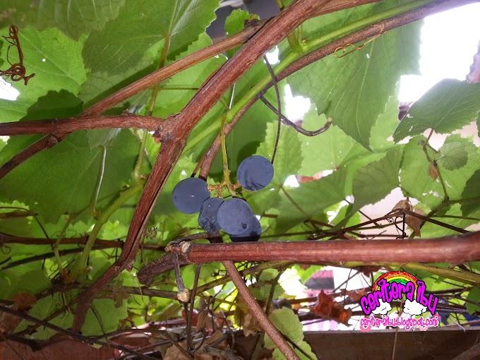 Pokok Anggur Berbuah Juga Akhirnya..
