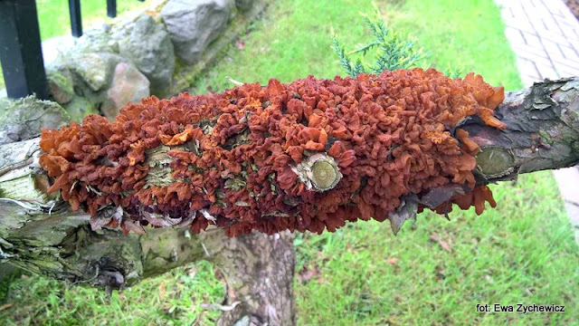 grzyby gatunkami , grzyby nadrzewne , nagoć sawiniowa , mykologia , na grzyby , las , grzybobranie