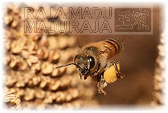 lebah Raja Madu Madu Raja mengangkut bee pollen ke kotaknya