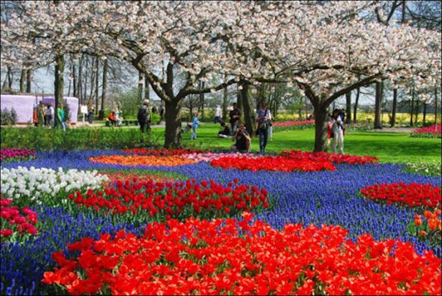13 شهر مايو في هولندا  موسم حصاد زهور التوليب  جنة على الأرض