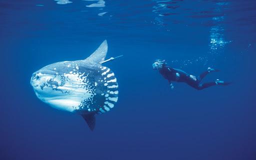 翻車魚與潛水夫