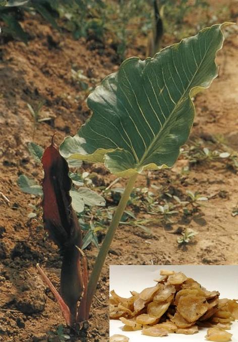 Typhonium giganteum Engl. (Fam. Araceae)