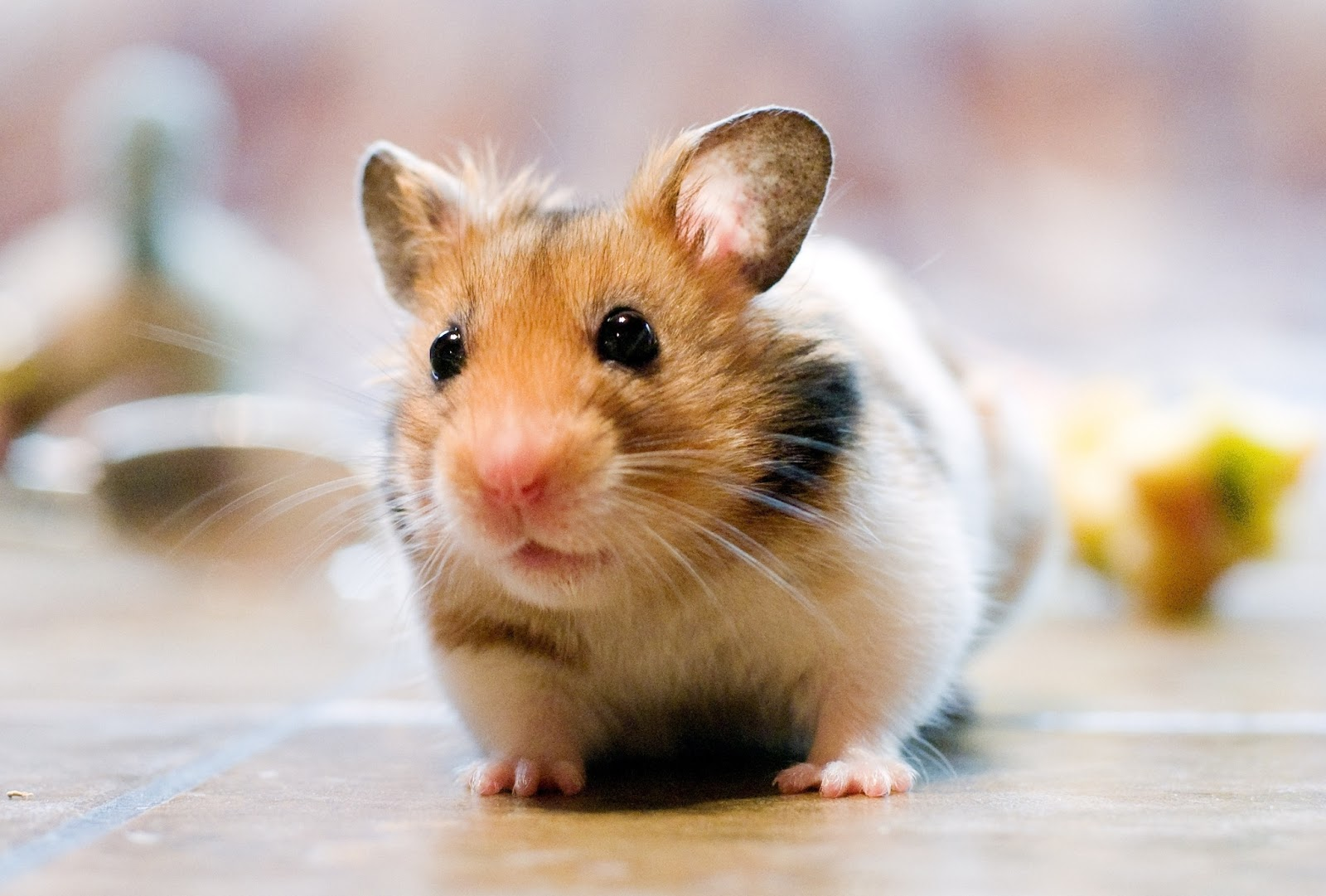 Hamster ~ Animals World
