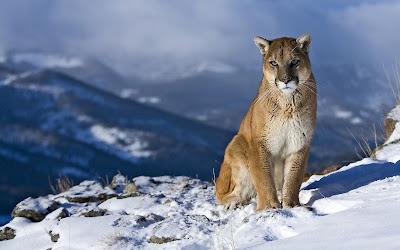 Puma salvaje - Wild puma (Grandes Felinos) - Wallpaper